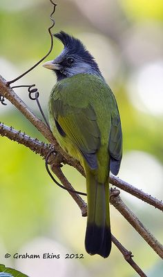 Crested Finchbill:: bulbul family :: Bangladesh, China, India, Laos, Burma, Thailand, Vietnam.