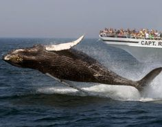 Where+Is+Cape+Cod | Whale Watching on Cape Cod in Cape Cod See + Do on Concierge.com. USA