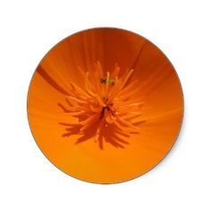 California Poppy with busy bee