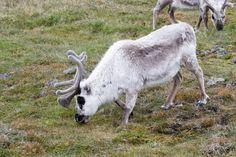 Svalbard-rennes - blog Bar a Voyages #Svalbard #spitzberg #norvege #ice #banquise #arctique #arctic #rendeer #renne #animals #norway