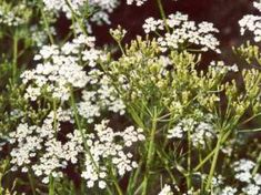 Informative article about the spice Caraway, its botany, chemistry, history and cross-cultural culinary usage. Herb Seeds, Garden Seeds, Smart Garden, Home And Garden, Biennial Plants, Caraway Seeds, Flower Pots, Flowers, Korn