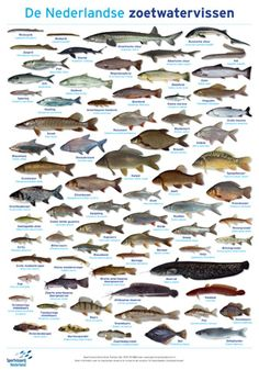 Aquaponics Fish, Exotic Fish, Cichlids, Fauna, Freshwater Fish, Glass House, Marine Life, Predator, Fresh Water