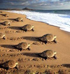 The Olive Ridley Turtles at Gahirmatha, Odisha