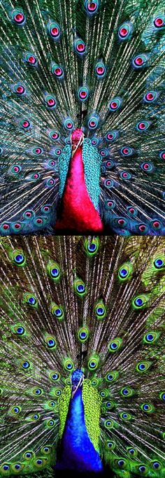 """Fake - """"pink peacock"""" - Real image, blue peacock, on the bottom - Peafowls can be green (Pavo muticus), blue (Pavo cristatus), black (Afropavo congensis) and white (albino version of the others), the other colors are FAKE!"""