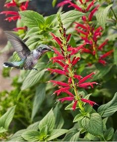 An herb to know......Pineapple Sage - Reaching a stature of 4', the scent and taste of the foliage is pure pineapple bliss. Infuse your water, slip under the skin of your chicken breast, chop into fruit salads, make a tea, slice and add to turkey wraps..........this versatile herb will become a garden favorite