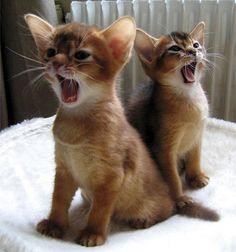 Abyssinian kittens - they're so cute! Tap the link for an awesome selection cat and kitten products for your feline companion! I Love Cats, Crazy Cats, Cool Cats, Baby Animals, Funny Animals, Cute Animals, Funny Kitties, Beautiful Cats, Animals Beautiful