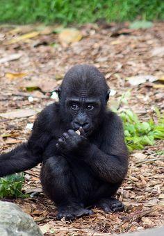 Cute Baby Monkey, Cute Baby Animals, Primates, Orangutan Monkey, Gorillaz Fan Art, Baby Gorillas, Mountain Gorilla, Pet Rats, Cute Animal Pictures