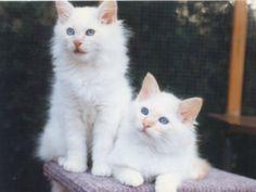 The Birman Cat Club