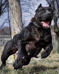 Scary Dogs, Funny Dogs, Doberman Dogs, Pitbulls, Best Dog Breeds, Best Dogs, Cane Corso Dog, Huge Dogs, Service Dogs