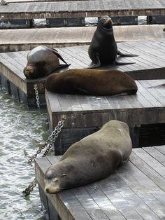 California Sea Lions at Fisherman's Wharf, San Francisco