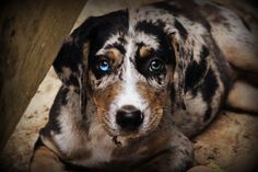 Our Catahoula Leopard Dog....Sweetie