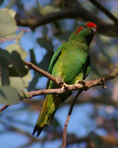 Palm lorikeet (Charmosyna palmarum) Parakeets, Parrots, Funny Birds, Feathers, Families, Palm, Animals, Beautiful, Animales