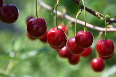 Romeo Cherry (tree form) (Prunus 'Romeo (tree form)') at Sherwood Nurseries 12'x7' Fruits Photos, How To Attract Birds, Deciduous Trees, Prunus, Types Of Soil, Cherry Tree, Small Trees, Wine Making, Nurseries
