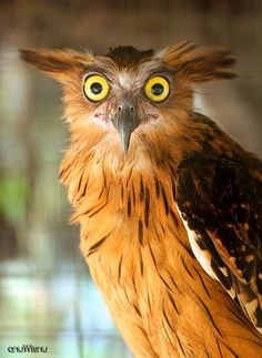 The Buffy Fish Owl (Bubo ketupu), also known as the Malay Fish Owl, is a species of owl in the Strigidae family. It was previously placed in Ketupa with the other fish owls, but that group is tentatively included with the eagle-owls in Bubo, until the affiliations of the fish owls and fishing owls can be resolved more precisely. It is found in Brunei, Cambodia, Cocos (Keeling) Islands, India, Indonesia, Laos, Malaysia, Myanmar, Singapore, Thailand, and Vietnam.