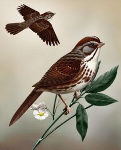 Song Sparrow - Whatbird.com