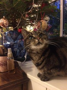 My mums cat has cancer and wasnt expected to make it to Christmas. Here she is enjoying all of her 14 years! by myghostfellout cats kitten catsonweb cute adorable funny sleepy animals nature kitty cutie ca