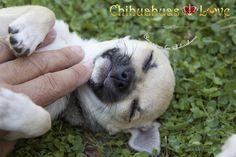 Chihuahuas Love - Chihuahuas Inseparables de Sus Dueños. Perros Chihuahua.