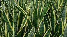 Snake_Plant_Sansevieria_trifasciata_Laurentii Best plants to clean the air in your home! I have plants but not any of these . except the pothos.gotta' get a couple more. Indoor Shade Plants, Best Plants For Shade, Indoor Plants Low Light, Sansevieria Trifasciata, Sansevieria Plant, Dorm Plants, Best Air Filter, Gerbera Jamesonii, Mother In Law Tongue