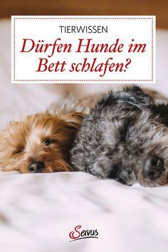 Was es bedeutet, mit dem Hund sein Bett zu teilen, und worauf man dabei achten sollte. #hund #hunde #hundeliebe #lebenmithunden #hundimbett #tiere #tierwissen #weltdertiere #tierischeswissen #servus #servusmagazin #servusinstadtundland Dogs, Animals, Snoring, Ticks, Pets, Animales, Animaux, Pet Dogs, Doggies
