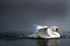 A swan swims on the river Elbe in Dresden, eastern Germany, on October 29, 2012. After first snow fall of the season meteorologists forecast raising temperatures up to 9 degrees for eastern Germany in the coming week. (AFP Photo) #animals #birds #water