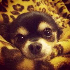 Chi eyes to melt your heart! Looks like my Remy!!