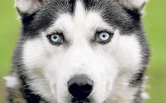 i will have a husky one day.