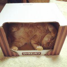 NOAH  ごろにゃーにゃ (てじなーにゃ風に)  #可愛いが止まらない #ノア坊ちゃま #ふわもこ部 #猫#ねこ#エキゾチックショートヘア #エキゾチックショートヘアー #猫箱#cat #catstagram #catsofinstagram #cats_of_instagram #ilovecat #exoticshorthair #exoticcat #きな粉餅部屋#mofmo#シャウエッセンハウス物語 by @kinako_mochicat automatic litter box  cat cats kitty cute catlover catsofinstagram catcam instacat catstagram catsagram lovecats cat product reviews