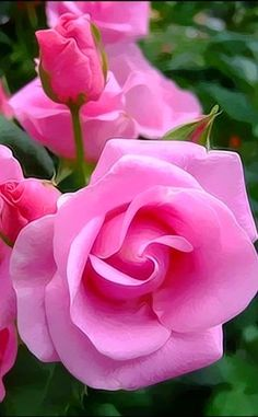 Beautiful Pink Roses,,,,,,,FRAGRANCE  IN   GARDEN   ROSES,,,,,,,**+