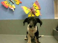 SAFE --- #A438189 (Moreno Valley, CA)  Female, black and white Pointer and Dachshund.  The shelter thinks I am about 9 weeks old.  I have been at the shelter since Jul 23, 2014 and I may be available for adoption on Jul 30, 2014  Moreno Valley Animal Shelter at (951) 413-3790 https://www.facebook.com/135559229932205/photos/a.136024659885662.29277.135559229932205/337751396379653/?type=3&theater