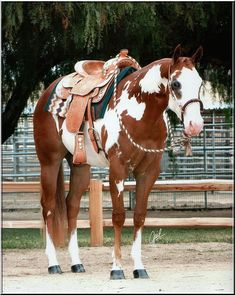 American Paint Horse western quarter paint horse paint pinto horse Gypsy Vanner…