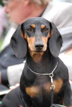 beautiful black and tan doxie