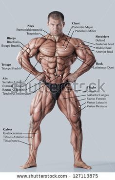 Muskeln Anatomie & Physiologie Gesundheit Fitness Training Muskel – Muskelsystem – Well come To My Web Site come Here Brom Body Muscles Names, Human Body Muscles, Human Body Name, Back Muscles, Fitness Gym, Muscle Fitness, Fitness Motivation, Health Fitness, Health Club