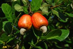 Cashew fruit and nut in external casing Caju frutos (Foto: DoDesign-s) Fruit Trees, Trees To Plant, Cashew Apple, Peach Fruit, Exotic Fruit, Fruit Garden, Pear, Flora, Spices