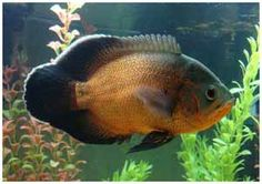 Red Oscar Fish: Most people choose Oscars over any other fish because they do possess a personality. Cichlid Aquarium, Aquarium Set, Cichlid Fish, Aquarium Fish Tank, Fish Tanks, Tropical Freshwater Fish, Freshwater Aquarium Fish, Tropical Fish, Fish Tank Themes