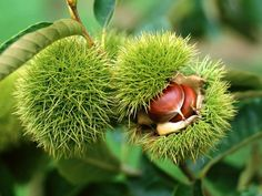 Buy Castanea Mollissima Tree Seeds Plant Chestnut For Ginseng Fruit Nut Sweet Chestnut, Chestnut Horse, American Chestnut, Forest Garden, Tree Seeds, Colorful Plants, Unusual Plants, Beautiful Nature Wallpaper, Beautiful Images