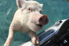 There Is An Island In The Caribbean Run By Pigs That Love To Swim.. I HAVE TO GO screw swimming with dolphins i wanna swim with piggies