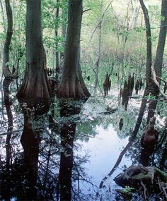 Google Image Result for http://www.usi.edu/science/biology/twinswamps/jpeg%20pix/cypress%20trees.jpg