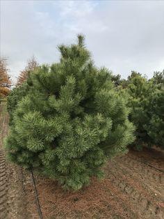 Pinus sylvestris/сосна обыкновенная  Самая распространенная дерево в лесах России.  В хороших условиях достигает 35-40 метров и более. Обхватом более 100 см. на песчаных и супесчаных почвах, встречается на торфянистых и редко на глинистых почвах. Чувствительна к засолению почв.