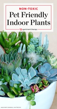 Cool are succulents poisonous to cats keeping your pets safe 10 non toxic house plants apartment therapy Cat Safe House Plants, Common House Plants, Cat Plants, Free Plants, Plants Poisonous To Dogs, Leafy Plants, Potted Plants, Inside Plants, Best Indoor Plants