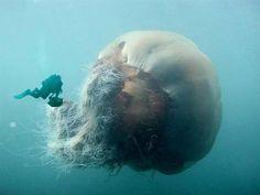 Una Nueva Especie de Medusa Gigante Descubierta en Australia Y Es ¡Terrorifica!