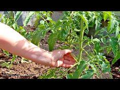 Пасынкование томатов - YouTube