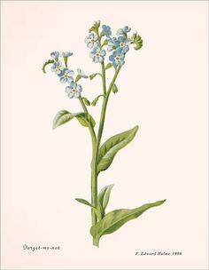 FORGET-ME-NOT Antique Botanical  di InstantVintagePrints su Etsy