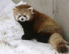 Red Panda OMG!!! He is sooo fluffy!!!! I am in loveee :3 <3 <3