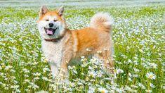 Chien Akita Inu dans un champ de marguerites
