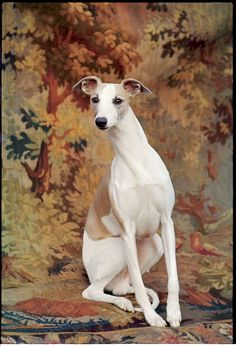 Portrait of whippet chosen Best in Show at the 88th annual Westminster Kennel Club Dog Show.