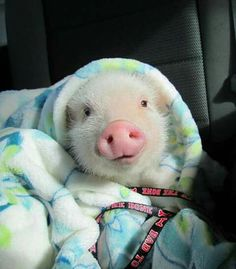 Piggy oink oink wrapped up in blankie
