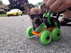 #Disabled #Chiahuahua- Turbo leads full and #happylife with 3D printed Cart | RandomlyNew