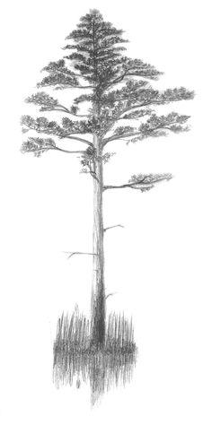 Pine tree.  (mans 1. zimejums)