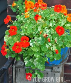 "Nasturtiums, ""Alaska Mix""  Can't wait to see these in my garden this year. Beautiful and edible!"