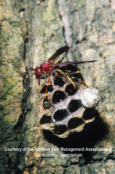 paper wasp sting reaction - photo #30